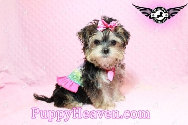 Heidi Klum - Teacup Morkie Puppy has found a good loving home with Vanessa from Henderson, NV 89052-9562