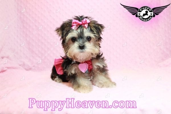 Heidi Klum - Teacup Morkie Puppy has found a good loving home with Vanessa from Henderson, NV 89052-0