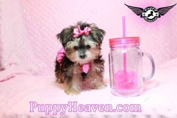 Heidi Klum - Teacup Morkie Puppy has found a good loving home with Vanessa from Henderson, NV 89052-9564