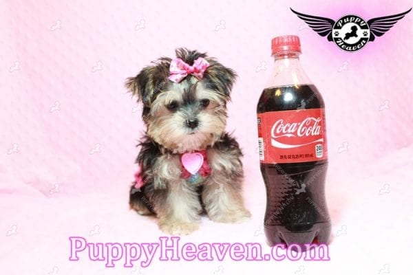 Heidi Klum - Teacup Morkie Puppy has found a good loving home with Vanessa from Henderson, NV 89052-9565