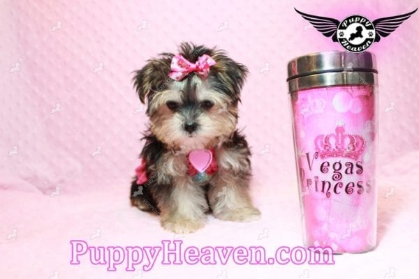 Heidi Klum - Teacup Morkie Puppy has found a good loving home with Vanessa from Henderson, NV 89052-9563