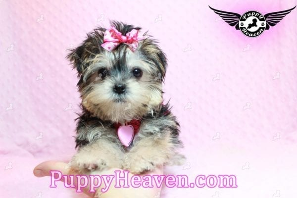Heidi Klum - Teacup Morkie Puppy has found a good loving home with Vanessa from Henderson, NV 89052-9559