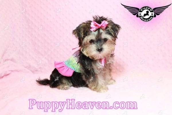 Heidi Klum - Teacup Morkie Puppy has found a good loving home with Vanessa from Henderson, NV 89052-9560