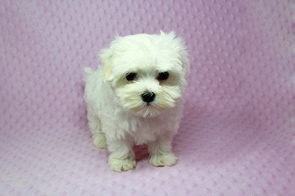 Anna-Maltese Puppy Found her Loving Home With Estela From Kelseyvill CA 95451-16894