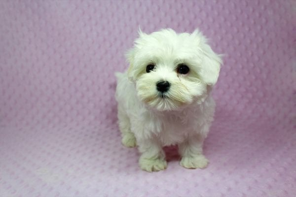 Anna-Maltese Puppy Found her Loving Home With Estela From Kelseyvill CA 95451-16897