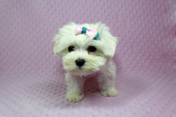 Anna-Maltese Puppy Found her Loving Home With Estela From Kelseyvill CA 95451-0