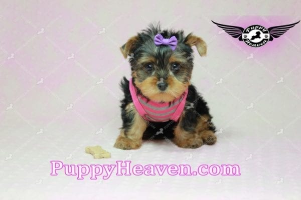 Mila Kunis - Teacup Yorkie Puppy in Las Vegas Found a loving home with Stephanie in Las Vegas NV, 89146-9223