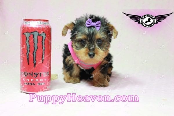 Mila Kunis - Teacup Yorkie Puppy in Las Vegas Found a loving home with Stephanie in Las Vegas NV, 89146-0