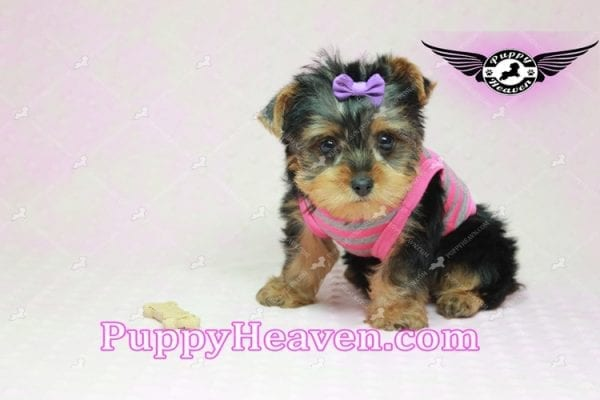 Mila Kunis - Teacup Yorkie Puppy in Las Vegas Found a loving home with Stephanie in Las Vegas NV, 89146-9220