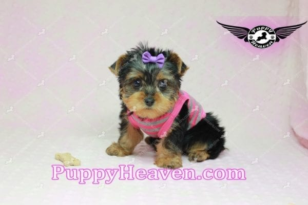 Mila Kunis - Teacup Yorkie Puppy in Las Vegas Found a loving home with Stephanie in Las Vegas NV, 89146-9222