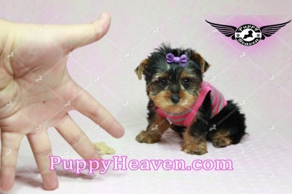 Mila Kunis - Teacup Yorkie Puppy in Las Vegas Found a loving home with Stephanie in Las Vegas NV, 89146-9219