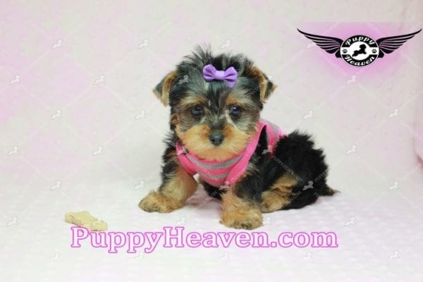 Mila Kunis - Teacup Yorkie Puppy in Las Vegas Found a loving home with Stephanie in Las Vegas NV, 89146-9218