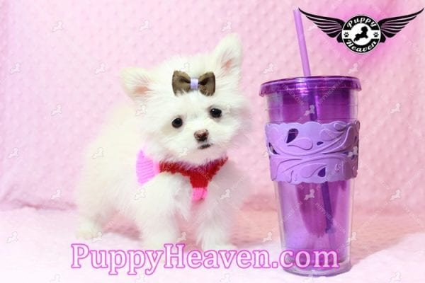 Olivia Wilde - Teacup Pomtese Puppy has found a good loving home with Alma from Las Vegas, NV 89103-9538