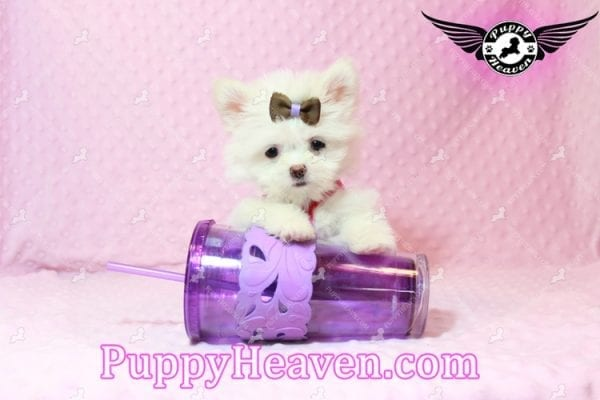Olivia Wilde - Teacup Pomtese Puppy has found a good loving home with Alma from Las Vegas, NV 89103-9540