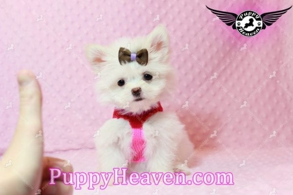 Olivia Wilde - Teacup Pomtese Puppy has found a good loving home with Alma from Las Vegas, NV 89103-9539