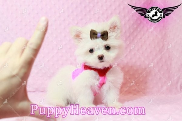Olivia Wilde - Teacup Pomtese Puppy has found a good loving home with Alma from Las Vegas, NV 89103-9543