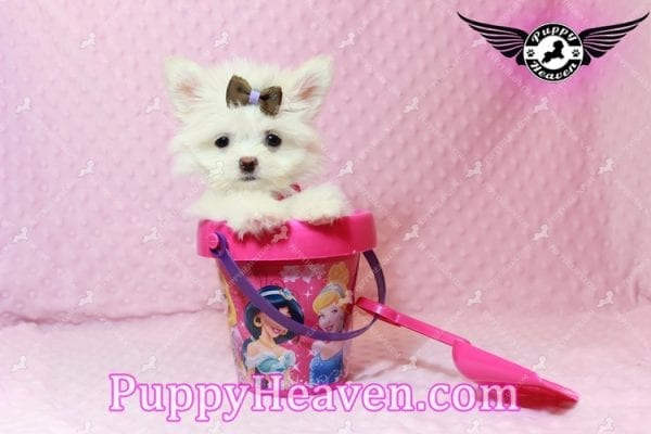 Olivia Wilde - Teacup Pomtese Puppy has found a good loving home with Alma from Las Vegas, NV 89103-9536