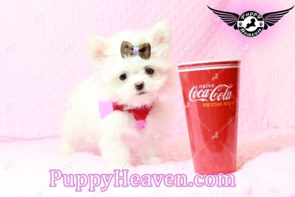 Olivia Wilde - Teacup Pomtese Puppy has found a good loving home with Alma from Las Vegas, NV 89103-9544