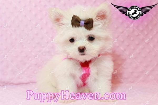 Olivia Wilde - Teacup Pomtese Puppy has found a good loving home with Alma from Las Vegas, NV 89103-9541