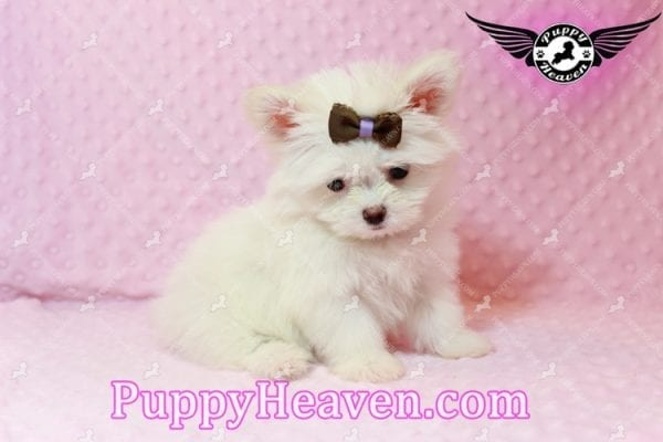 Olivia Wilde - Teacup Pomtese Puppy has found a good loving home with Alma from Las Vegas, NV 89103-9542