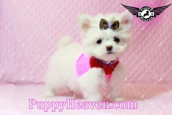 Olivia Wilde - Teacup Pomtese Puppy has found a good loving home with Alma from Las Vegas, NV 89103-9535