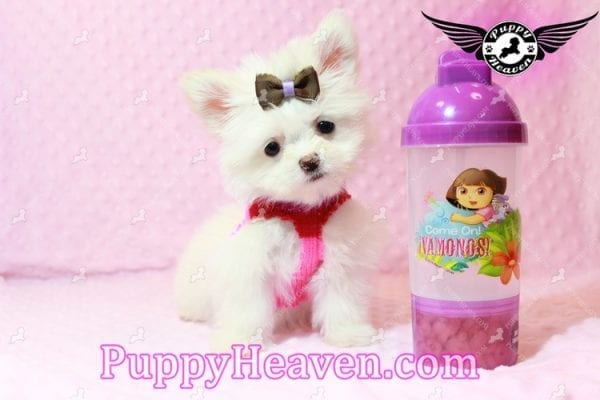 Olivia Wilde - Teacup Pomtese Puppy has found a good loving home with Alma from Las Vegas, NV 89103-0