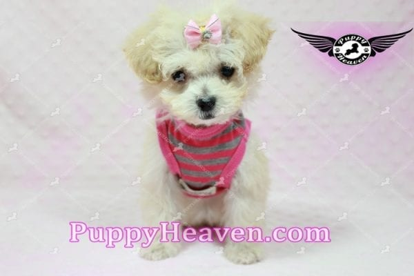 Phoebe Buffay - Teacup Maltipoo Puppy Has Found A Loving Home With Armen From Woodland Hills Ca 91367-9347