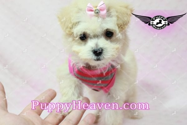 Phoebe Buffay - Teacup Maltipoo Puppy Has Found A Loving Home With Armen From Woodland Hills Ca 91367-9346