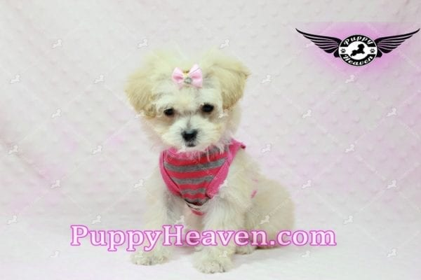 Phoebe Buffay - Teacup Maltipoo Puppy Has Found A Loving Home With Armen From Woodland Hills Ca 91367-9349