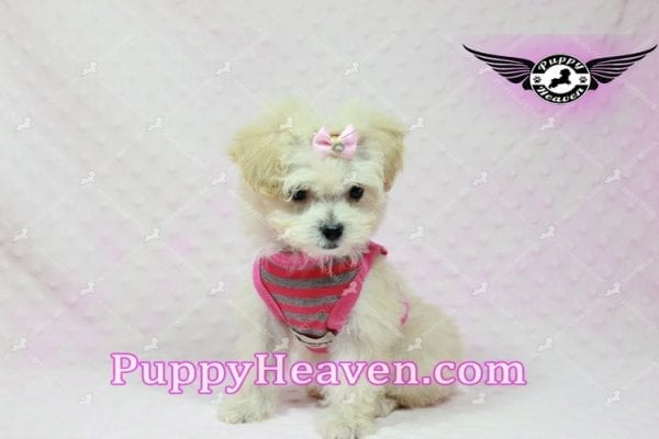 Phoebe Buffay - Teacup Maltipoo Puppy Has Found A Loving Home With Armen From Woodland Hills Ca 91367-9351