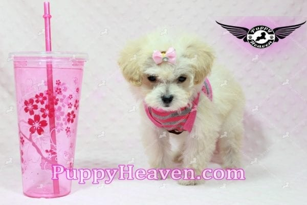 Phoebe Buffay - Teacup Maltipoo Puppy Has Found A Loving Home With Armen From Woodland Hills Ca 91367-9353