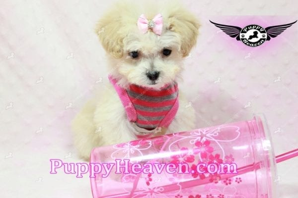 Phoebe Buffay - Teacup Maltipoo Puppy Has Found A Loving Home With Armen From Woodland Hills Ca 91367-9345