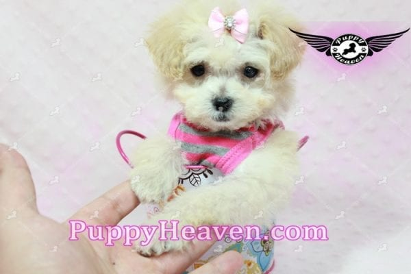 Phoebe Buffay - Teacup Maltipoo Puppy Has Found A Loving Home With Armen From Woodland Hills Ca 91367-9344