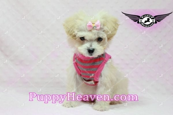 Phoebe Buffay - Teacup Maltipoo Puppy Has Found A Loving Home With Armen From Woodland Hills Ca 91367-9350