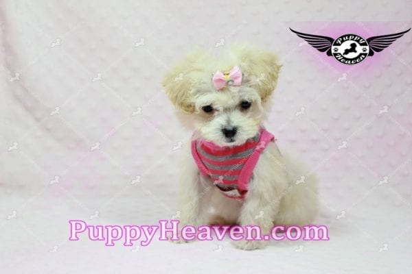 Phoebe Buffay - Teacup Maltipoo Puppy Has Found A Loving Home With Armen From Woodland Hills Ca 91367-9352