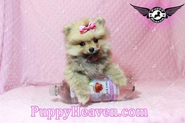 Powerpuff Girl - Teacup Pomeranian Puppy has found a good loving home with Marcella from Las Vegas, NV 89108-9519