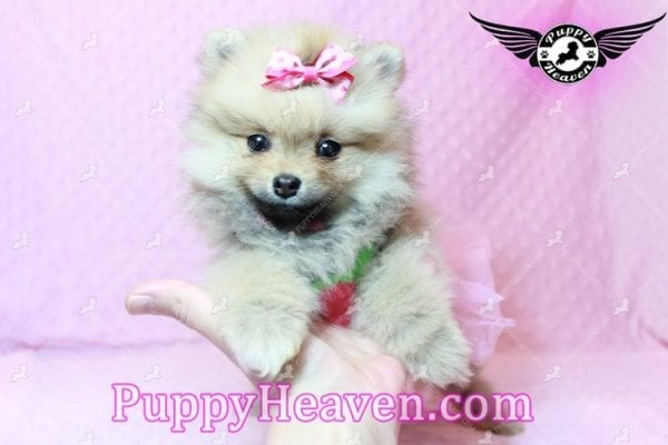 Powerpuff Girl - Teacup Pomeranian Puppy has found a good loving home with Marcella from Las Vegas, NV 89108-9524