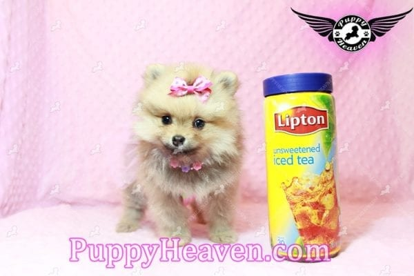 Powerpuff Girl - Teacup Pomeranian Puppy has found a good loving home with Marcella from Las Vegas, NV 89108-9522