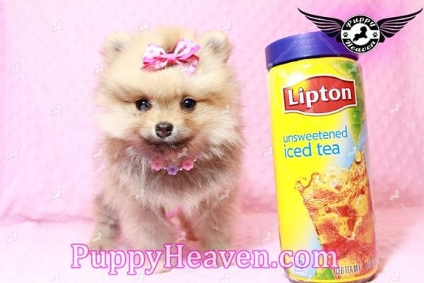 Powerpuff Girl - Teacup Pomeranian Puppy has found a good loving home with Marcella from Las Vegas, NV 89108-9520