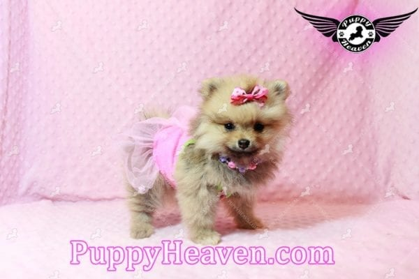 Powerpuff Girl - Teacup Pomeranian Puppy has found a good loving home with Marcella from Las Vegas, NV 89108-9521