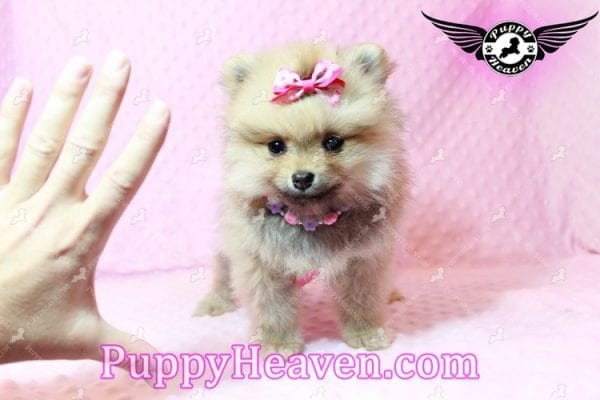 Powerpuff Girl - Teacup Pomeranian Puppy has found a good loving home with Marcella from Las Vegas, NV 89108-9523