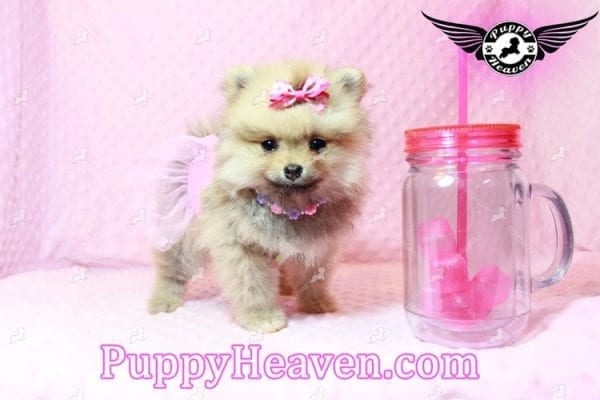 Powerpuff Girl - Teacup Pomeranian Puppy has found a good loving home with Marcella from Las Vegas, NV 89108-0