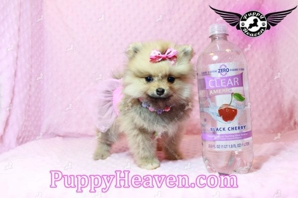 Powerpuff Girl - Teacup Pomeranian Puppy has found a good loving home with Marcella from Las Vegas, NV 89108-9525