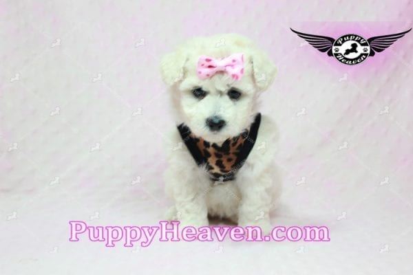 Rachel Green - Teacup Maltipoo Puppy in Los Angeles Found A New Loving Home With claudia From Granada Hills Ca 91344-9244