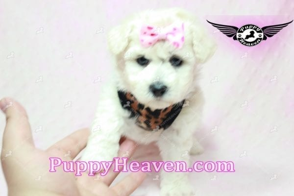 Rachel Green - Teacup Maltipoo Puppy in Los Angeles Found A New Loving Home With claudia From Granada Hills Ca 91344-9247