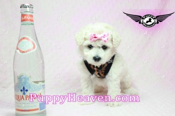 Rachel Green - Teacup Maltipoo Puppy in Los Angeles Found A New Loving Home With claudia From Granada Hills Ca 91344-9245