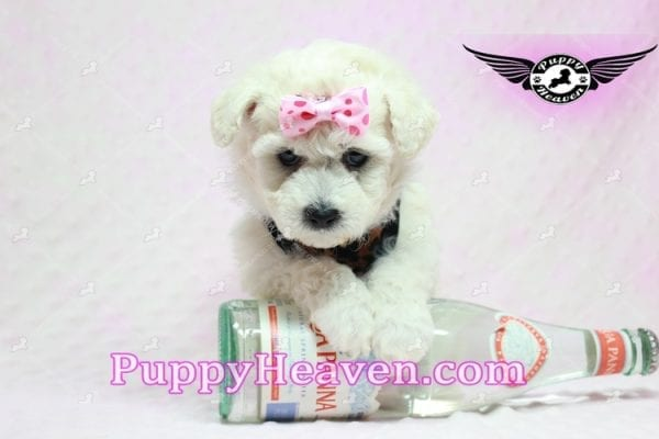 Rachel Green - Teacup Maltipoo Puppy in Los Angeles Found A New Loving Home With claudia From Granada Hills Ca 91344-9253