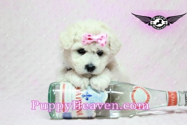 Rachel Green - Teacup Maltipoo Puppy in Los Angeles Found A New Loving Home With claudia From Granada Hills Ca 91344-9246