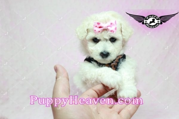 Rachel Green - Teacup Maltipoo Puppy in Los Angeles Found A New Loving Home With claudia From Granada Hills Ca 91344-9243
