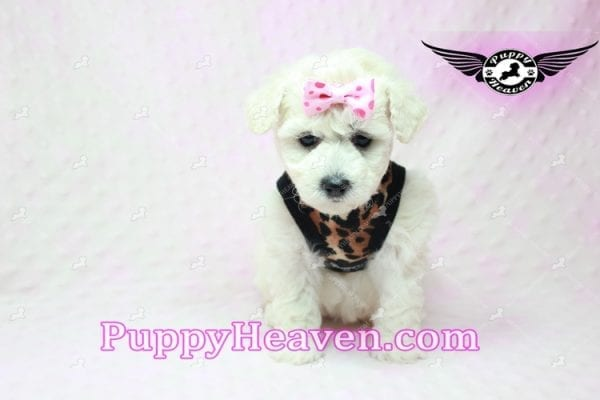 Rachel Green - Teacup Maltipoo Puppy in Los Angeles Found A New Loving Home With claudia From Granada Hills Ca 91344-9248